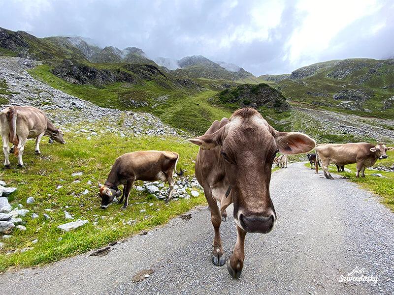 alpejskie krowy