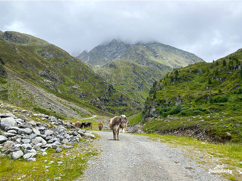 krowa alpy austriackie